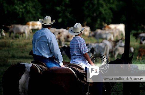 sitzend  Mann  Junge - Person  Start  Herde  Herdentier  Rind