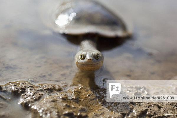 Langhals-Schildkröte lächelt vor der Kamera  Heathcote  Victoria  Australien Langhals-Schildkröte lächelt vor der Kamera, Heathcote, Victoria, Australien