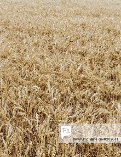Ein Feld mit reifendem Weizenanbau in der Nähe von Pullman im Bezirk Whitman.