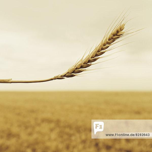 Ein Weizenstengel mit einer reifenden Ähre an der Spitze. Getreidefeld.