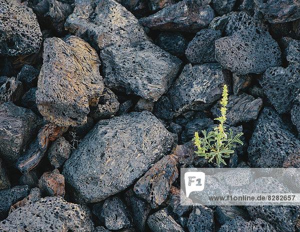 Eine Nahaufnahme eines kleinen grünen Sprosses  einer Pflanze  die zwischen Vulkangestein wächst. Erstarrte Lavafelder in den Kratern des Mond-Nationaldenkmals und Naturschutzgebietes in der Schlangenflussebene in Zentral-Idaho