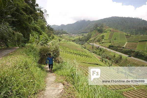 Mann  tragen  gehen  Gemüse  Nostalgie  Reis  Reiskorn  Schwangerschaft  Mittelpunkt  Stroh  Bündel  Südostasien  Asien  voll  schwer  Indonesien  Java