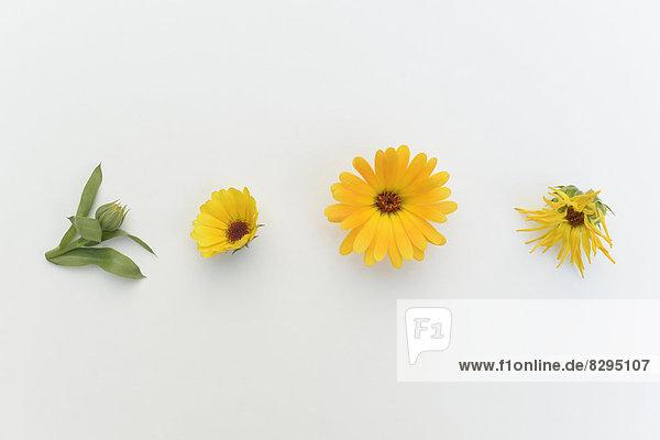 Ringelblume (Calendula officinalis)  Heilpflanze  Studioaufnahme