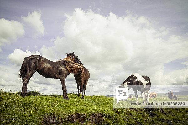 Iceland  Icelandic horses on grassland