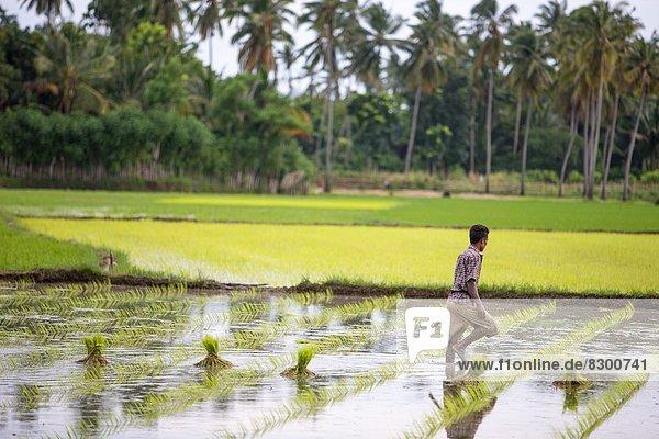 arbeiten  Feld  Reis  Reiskorn  Bauer  Südostasien  Asien  Indonesien