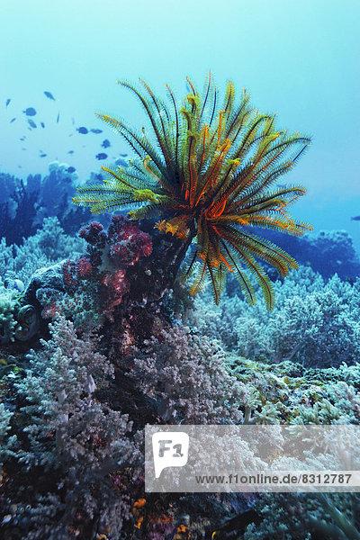Federstern(Comanthus briareus) und Weichkorallen