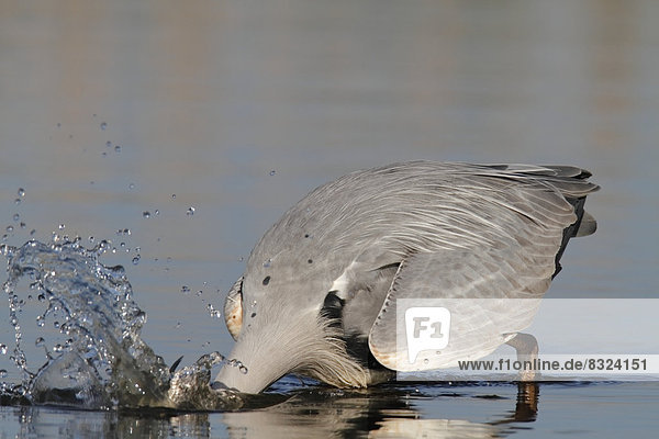 Grey Heron (Ardea cinerea) plunging into water to catch a fish