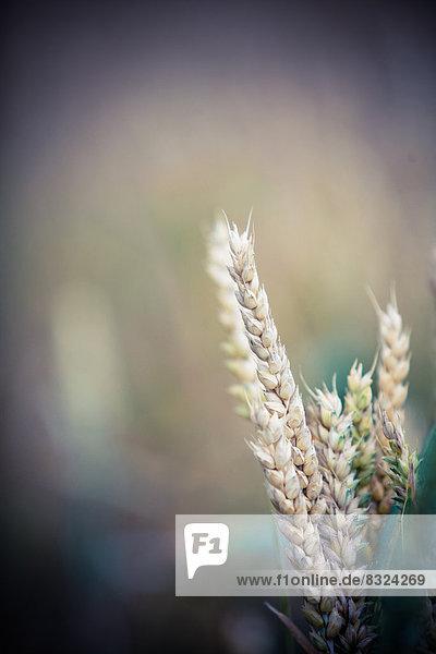 Weizenähre  close-up