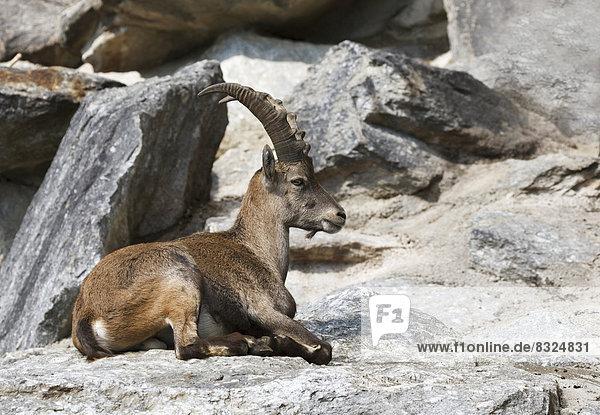 Alpensteinbock (Capra ibex)  weiblich  Alpenzoo Innsbruck