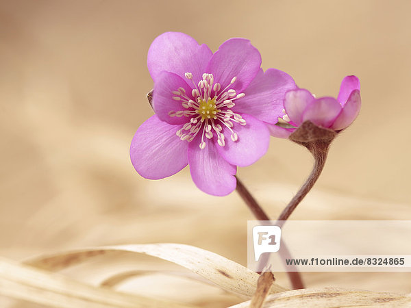 Leberblümchen (Hepatica nobilis) in Pink