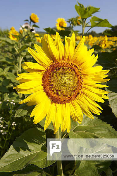 Sonnenblumenfeld (Helianthus annuus)