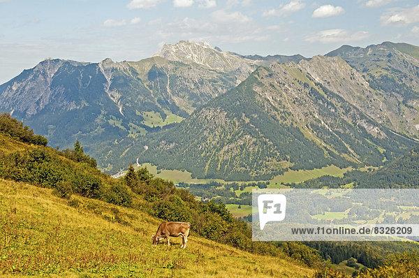 Milchkuh in Almlandschaft am Fellhorn  dahinter das Nebelhorn  2224m