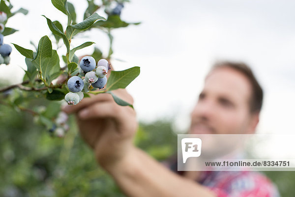 Biologischer Obstgarten. Ein Mann pflückt Blaubeeren  Cyanococcus  Obst.
