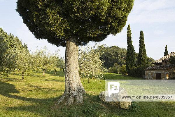 Zypresse und ein Olivenhain auf einem toskanischen Hügel in Italien.