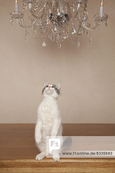 A cat under a chandelier  on its haunches looking upwards.