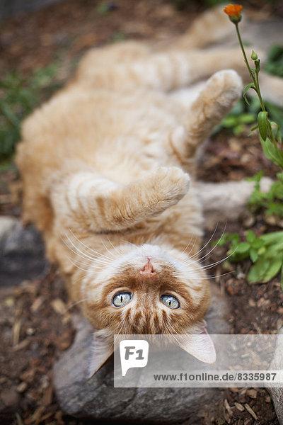 Orange gestromte Katze im Garten liegend Orange gestromte Katze im Garten liegend