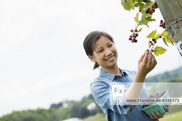 Eine Frau greift hoch  um Beeren von einem Brombeerstrauch auf einer Bio-Obstfarm zu pflücken.