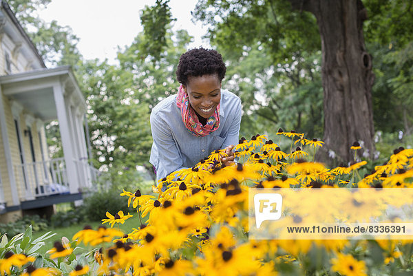 An organic flower garden. A woman bending to cut tall yellow rudbekia flowers.