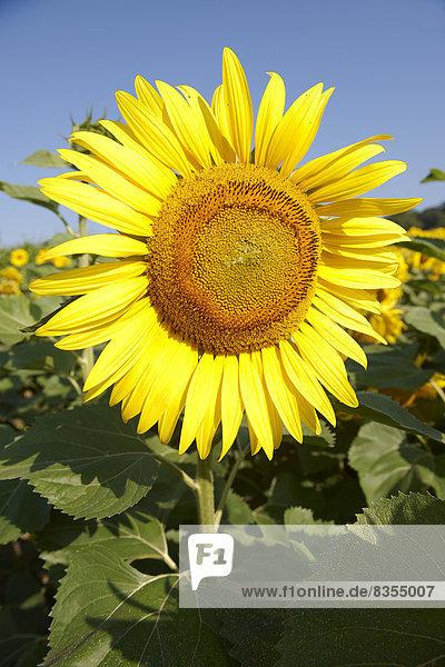 Sonnenblume (Helianthus annuus)  Ungarn