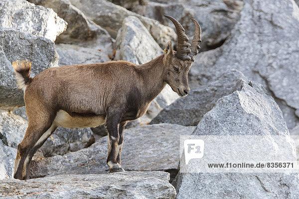 Alpensteinbock (Capra ibex)  Tirol  Österreich