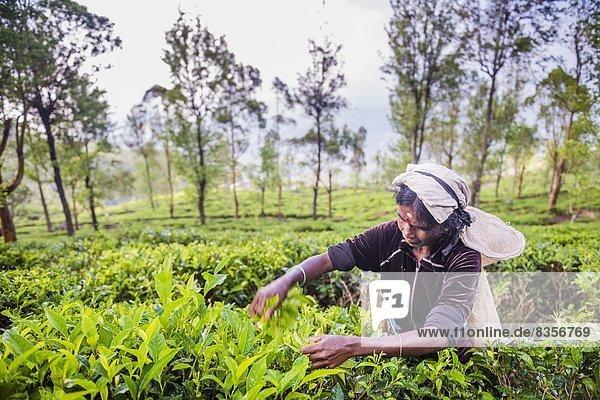 Mittelpunkt  aufheben  Pflücker  Asien  Highlands  Sri Lanka  Tee