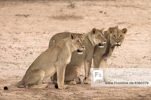 Lion sub-adults (Panthera leo)  Kgalagadi Transfrontier Park  South Africa  Africa