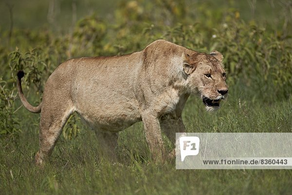 Lioness (Lion  Panthera leo)  Ngorongoro Crater  Tanzania  East Africa  Africa