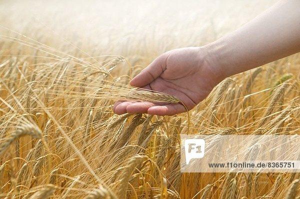 Weizen mit der Hand berühren