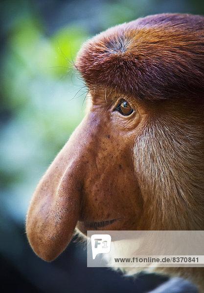 Menschliches Nasenloch  Borneo  Affe Menschliches Nasenloch ,Borneo ,Affe