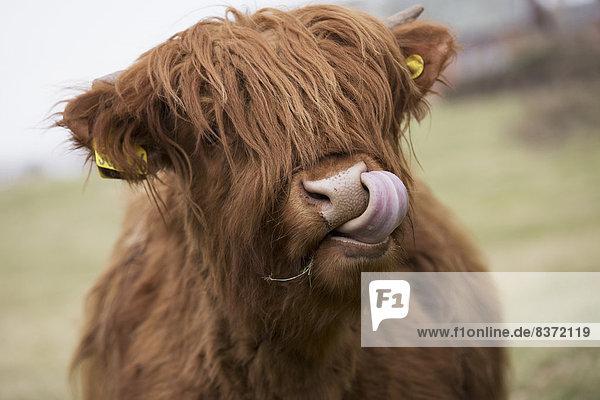 Rind  lecken  Highlands  Sperre  Schottland  schottisch Rind ,lecken ,Highlands ,Sperre ,Schottland ,schottisch