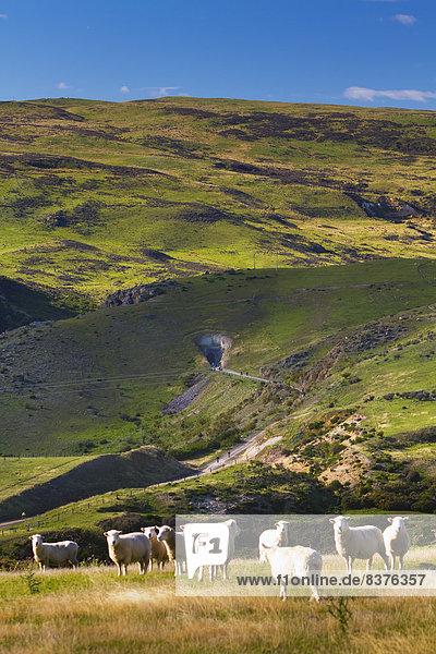 folgen  Geländer  Schaf  Ovis aries  Feld  Mittelpunkt  grasen  neu  Neuseeland  Otago