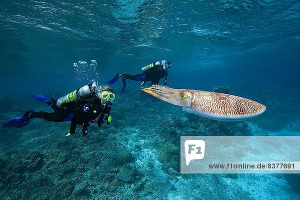 sepia getont Taucher Mikronesien Tintenfisch Palau