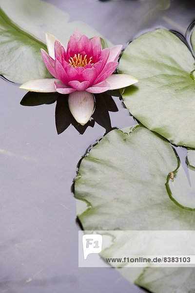 Wasser Europa Teich pink Lilie Spanien