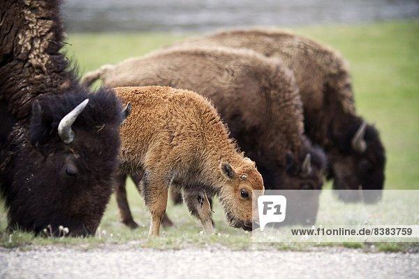 Schürfwunde  Yellowstone Nationalpark  Bison  Wyoming