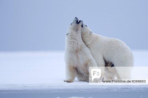 Bär  nahe  Außenaufnahme  Vereinigte Staaten von Amerika  USA  Spiel  Ecke  Ecken  geselliges Beisammensein  Absperrung  Insel  Norden  1  vorwärts  Kaktovik  Alaska  Mutter - Mensch  Alaska  junges Raubtier  junge Raubtiere