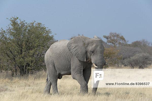 Afrikanischer Elefant (Loxodonta africana)  Etosha-Nationalpark  Namibia