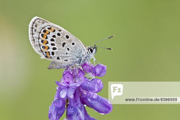 Hauhechelbläuling (Polyommatus icarus) auf Blüte