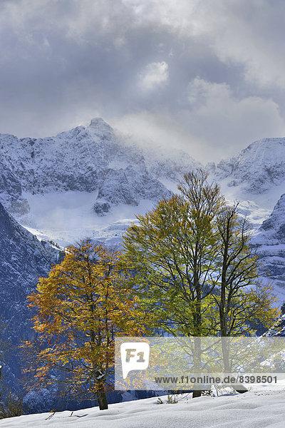 Sycamore Maple (Acer pseudoplatanus)  Karwendel Mountains at back  Großer Ahornboden  alp pastures with maple trees  Tyrol  Austria