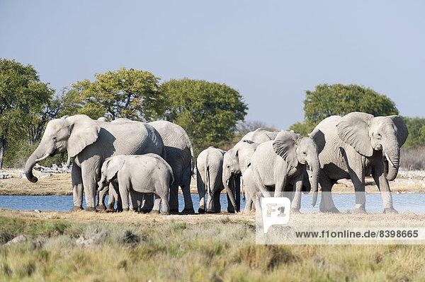 Afrikanische Elefanten (Loxodonta africana)  Herde am Wasserloch  Etosha Nationalpark  Namibia