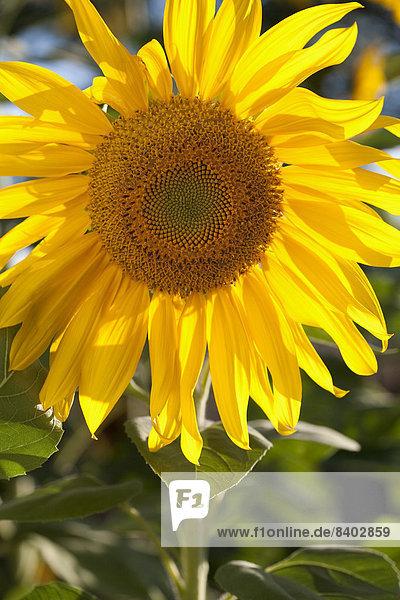 Blüte einer Sonnenblume