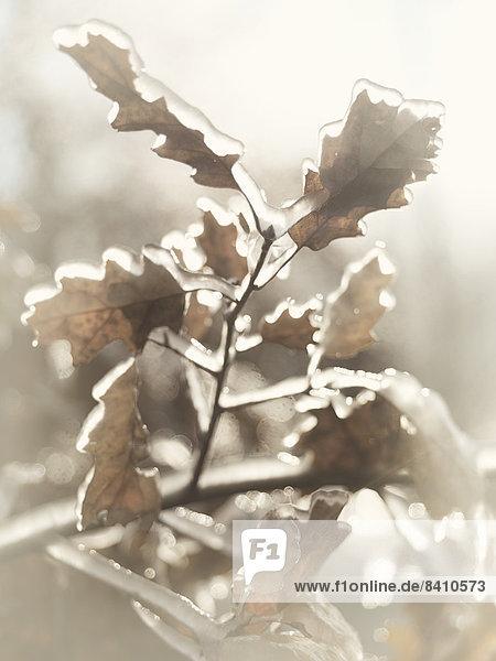 Überfrorene Zweige einer Eiche mit eis-überzogenen Blättern