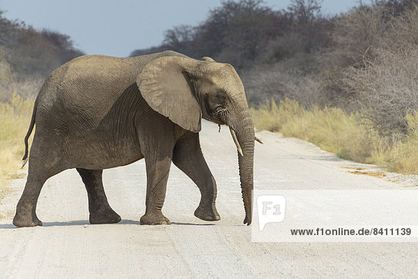 Afrikanischer Elefant (Loxodonta africana) überquert die Straße  Etosha-Nationalpark  Namibia