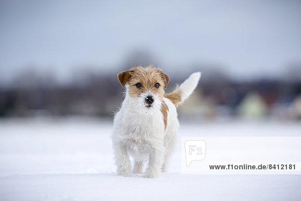 Eine junge Jack Russell Terrier Hündin im Schnee  Döberitzer Heide  Wustermark  Brandenburg  Deutschland