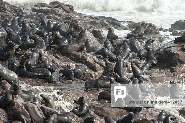 Nasse Südafrikanische Seebären (Arctocephalus pusillus) am felsigen Ufer mit Brandung  Kreuzkap  Region Erongo  Namibia