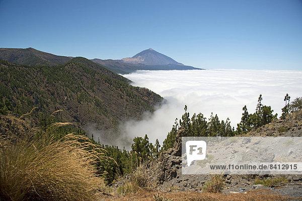 Kiefernwald  Kanarische Kiefer (Pinus canariensis)  Passatwolken  dahinter der Vulkan Pico del Teide  3718m  Teide-Nationalpark  UNESCO Weltnaturerbe  Teneriffa  Kanaren  Spanien