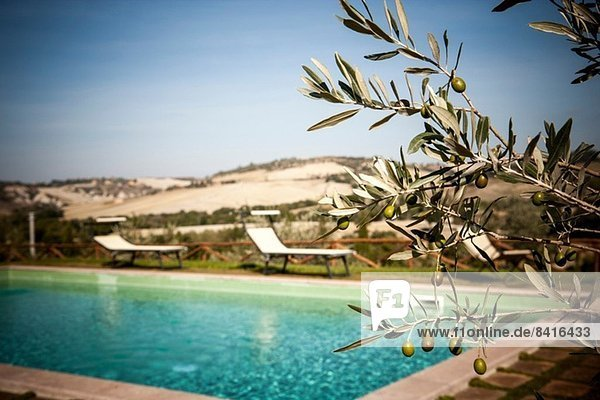 Olivenbaum und Schwimmbad  Siena  Valle Orcia  Toskana  Italien