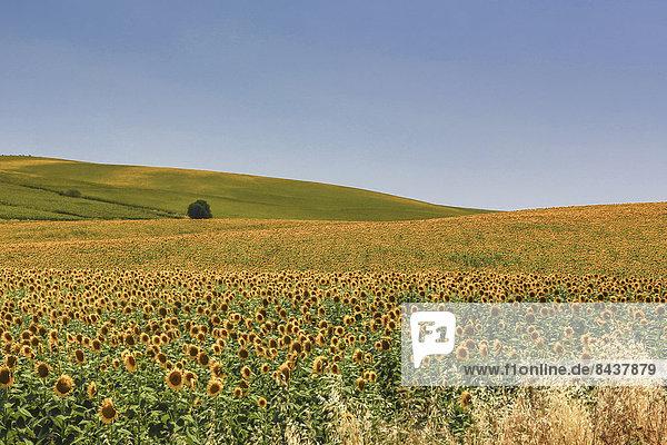 Europa Blume Wohnhaus Sommer gelb Landschaft grün Landwirtschaft Pflanze Sonnenblume helianthus annuus Andalusien Cadiz Spanien