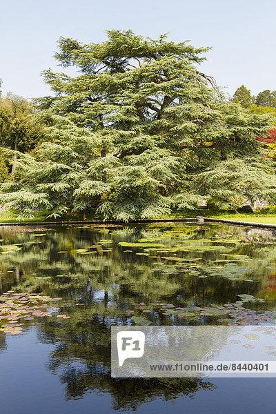 Blue Cedar tree  Cedrus atlantica glauca