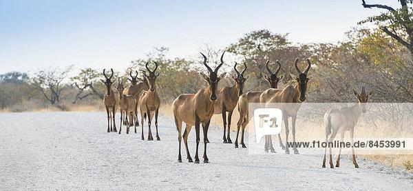 Kuhantilopen (Alcelaphus buselaphus)  Herde  Etosha-Nationalpark  Namibia Kuhantilopen (Alcelaphus buselaphus), Herde, Etosha-Nationalpark, Namibia