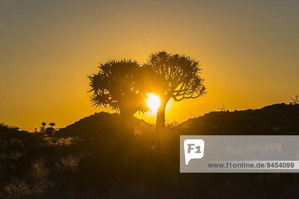 Köcherbäume (Aloe dichotoma) bei Sonnenuntergang  bei Keetmanshoop  Namibia